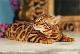 Bengal cat Michelle Love, Benglory Bengal cats breeding cattery